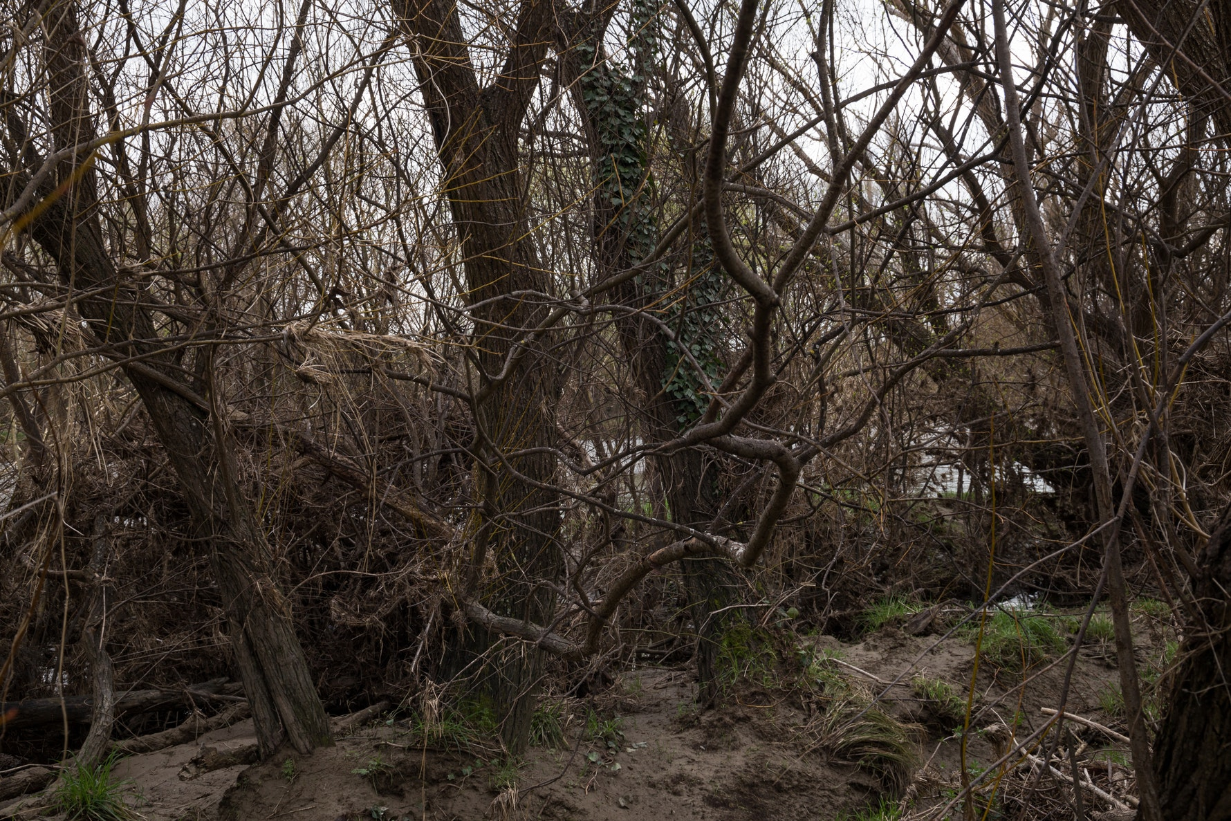 Tangle of Branches After Flood, Chamberlains Ford